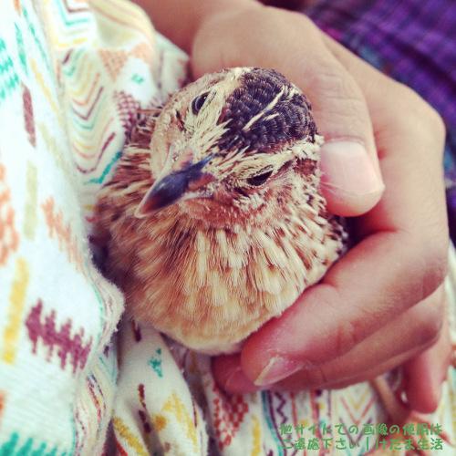 うずらの孵化の方法【孵卵・転卵・検卵】